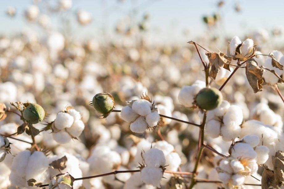 cotton field archive about the 5 Things You May Not Have Know About Cotton sanna conscious concept