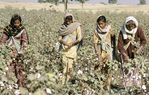 women working in a cotton field archive 5 things you may not know about cotton sanna conscious concept